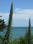 Echium Pininana - Bembridge