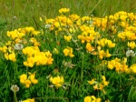 Yellow Vetch - Brading Marsh